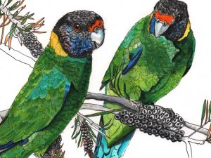 Ringneck Parrot pair watercolour painting original